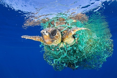 A loggerhead sea turtle.jpg